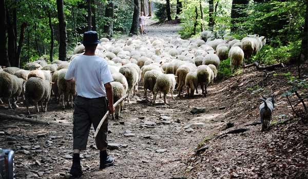 Herder met kudde